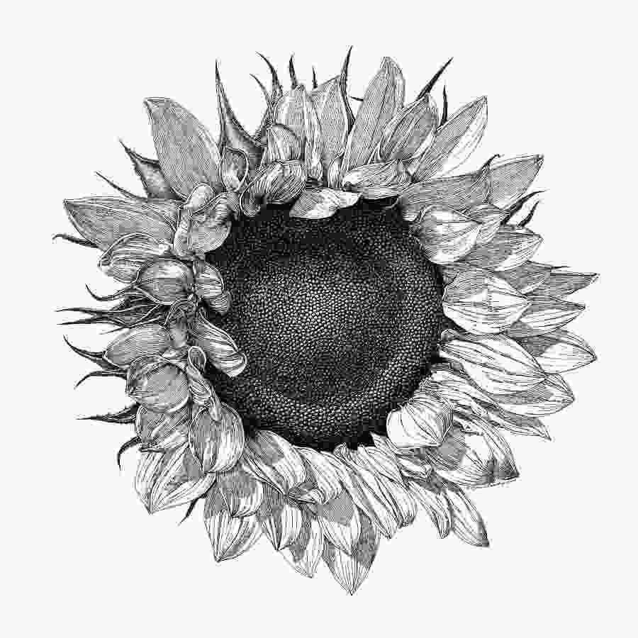 sunflower drawing black and white botanical drawings sunflower google