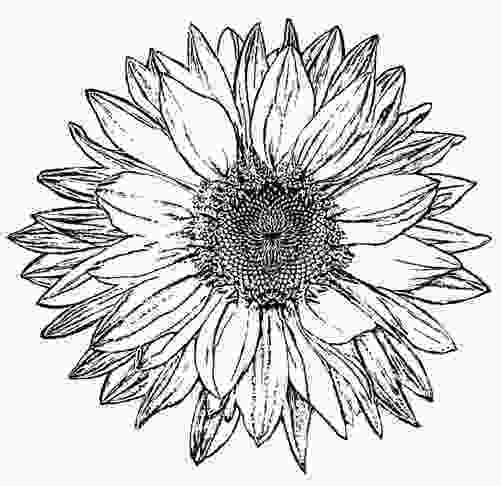 sunflower drawing black and white sunflower clipart 101 clip art
