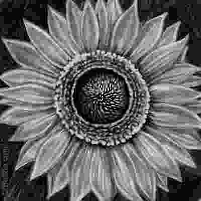 sunflower drawing colors of soot tips on how to draw with charcoal 1