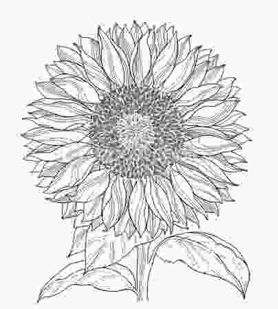 sunflower drawing pin by jenean livesey on kitchen ideas pinterest