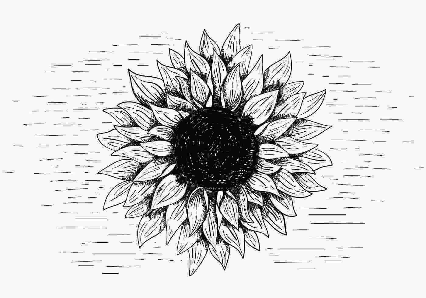 sunflower drawing vector sunflower illustration download free vectors