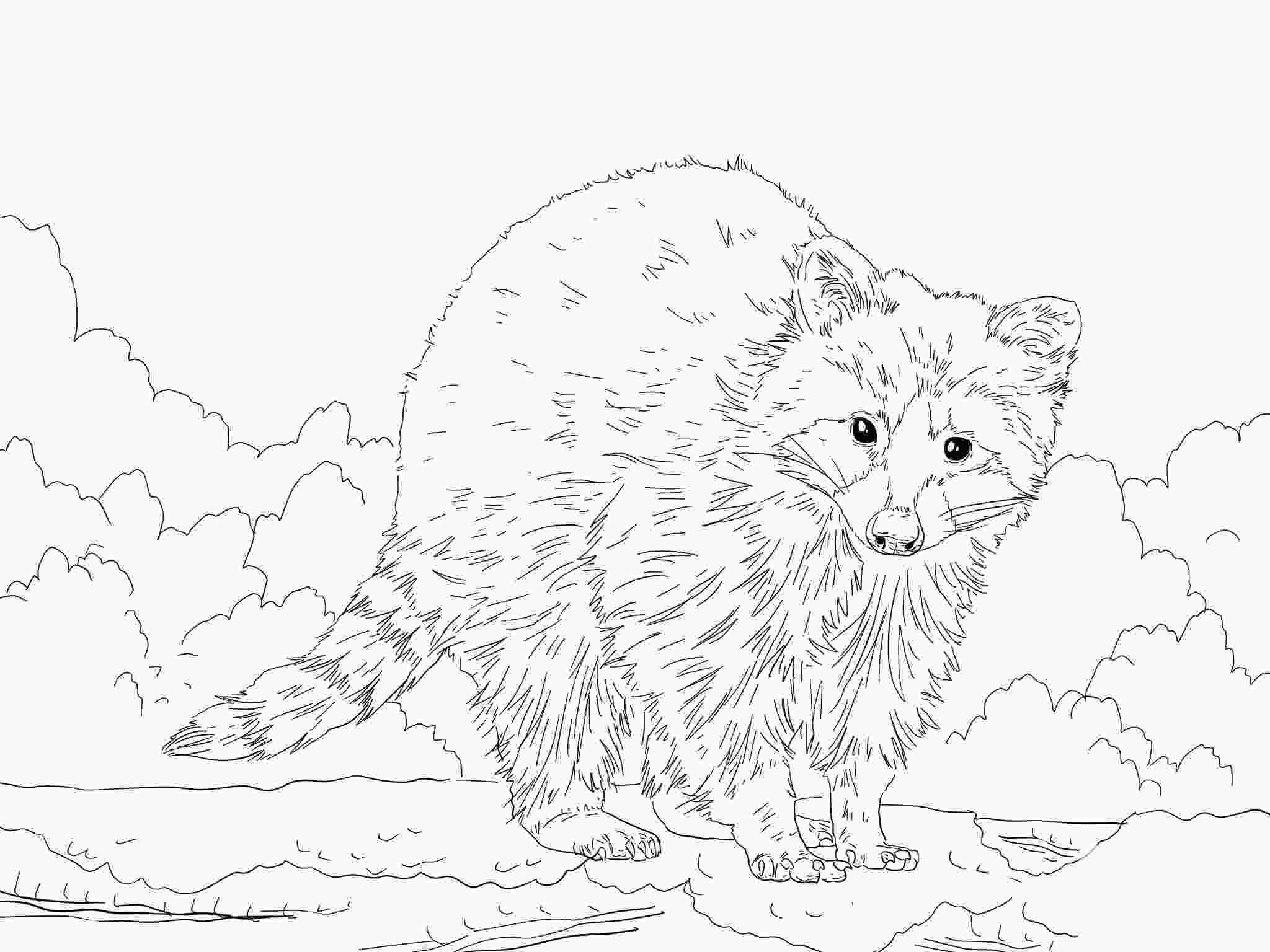 baby raccoon coloring page racoon coloring download racoon coloring for free 2019