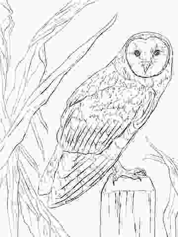 barn owl coloring page barn owl coloring page free printable coloring pages