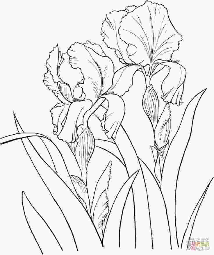 coloring flowers with colored pencils iris color pencil flower garden german iris or iris