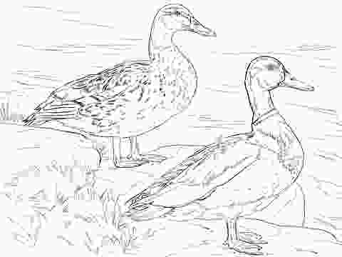 duck hunting coloring pages male and female mallard ducks coloring page