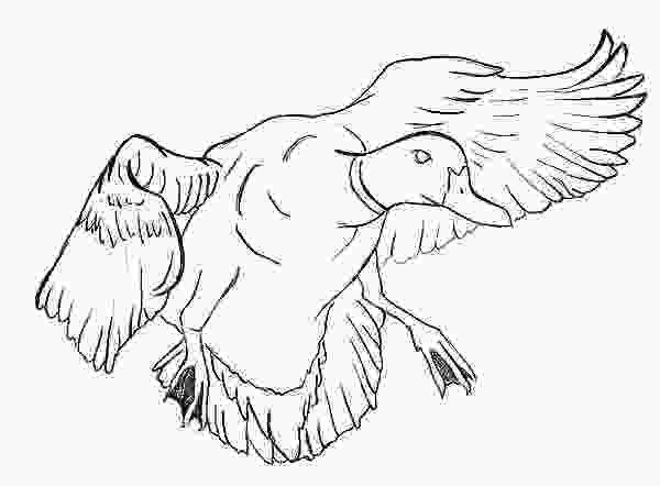duck hunting coloring pages mallard duck mallard duck outline coloring pages