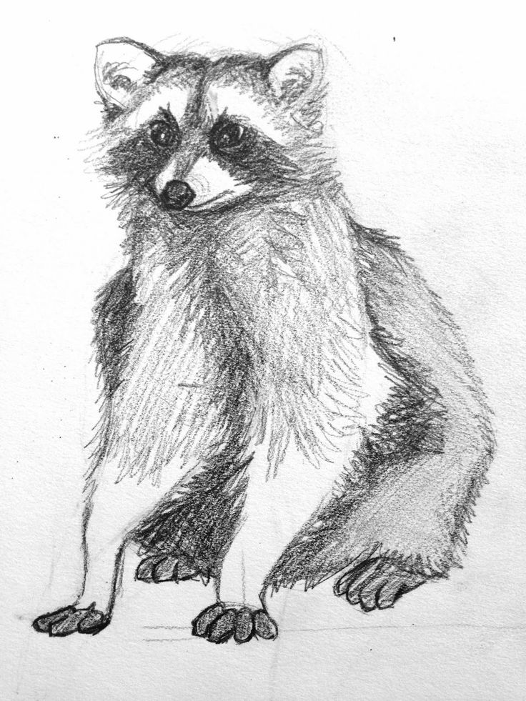 raccoon drawing 275 best images about raccoons drawings and paintings of raccoon drawing