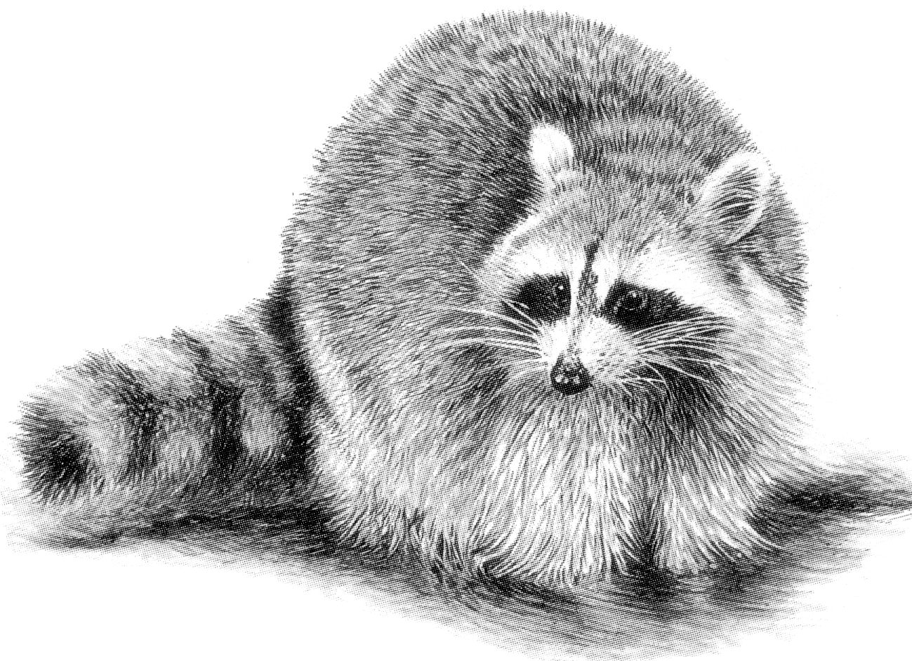 raccoon drawing 277 best raccoons drawings and paintings of raccoons drawing raccoon