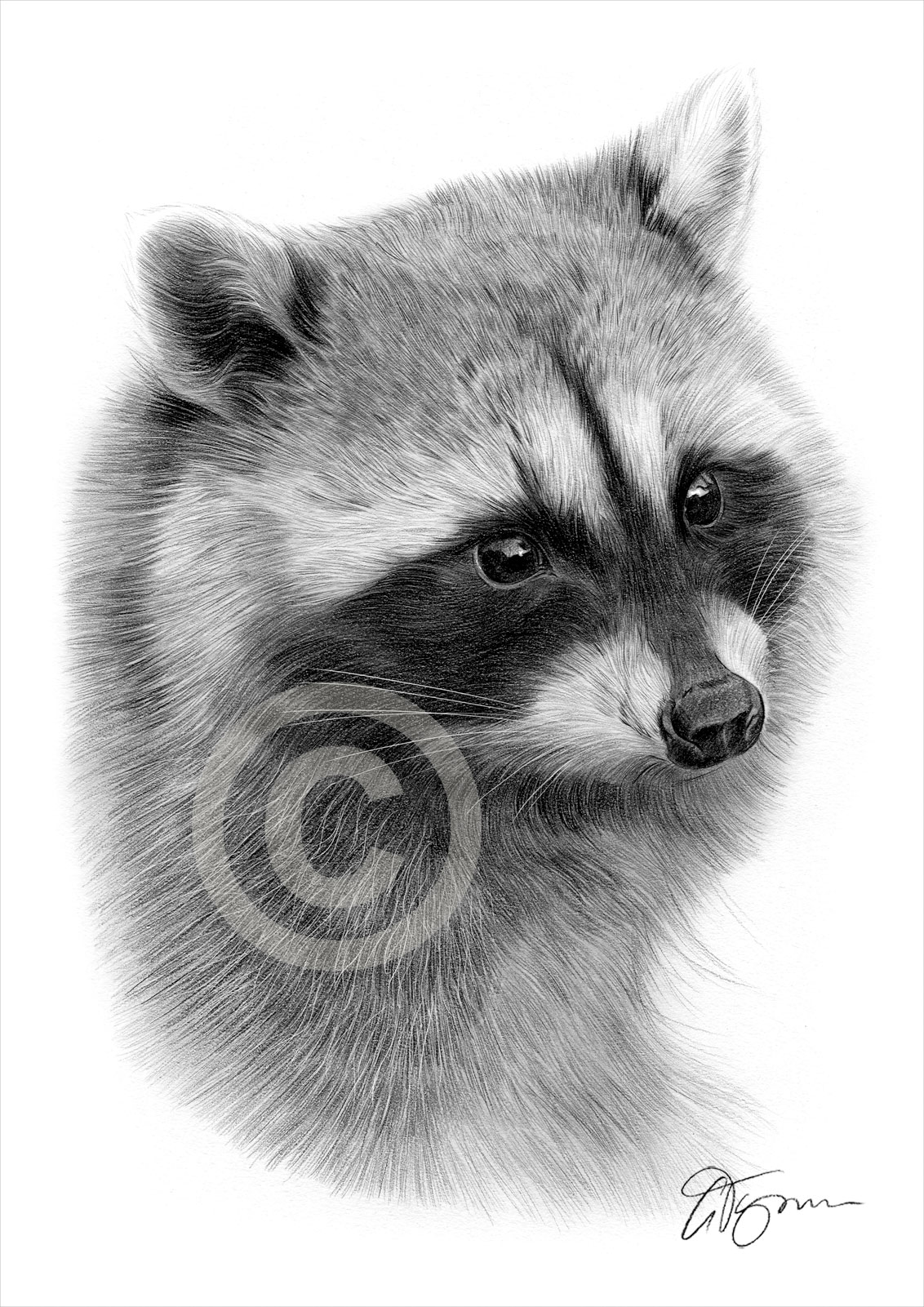 raccoon drawing baby raccoons drawing drawing by james schultz raccoon drawing