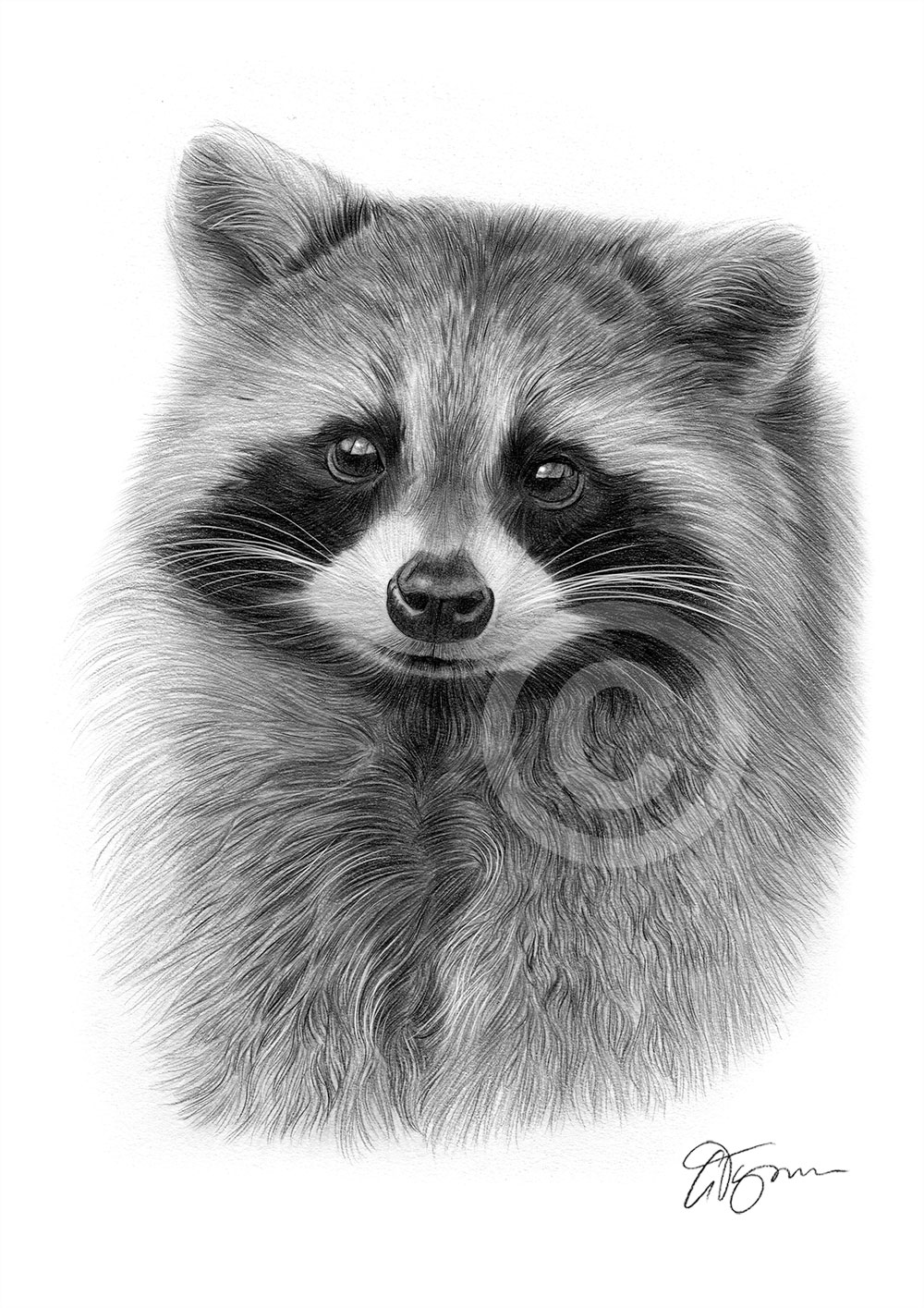 Raccoon drawing