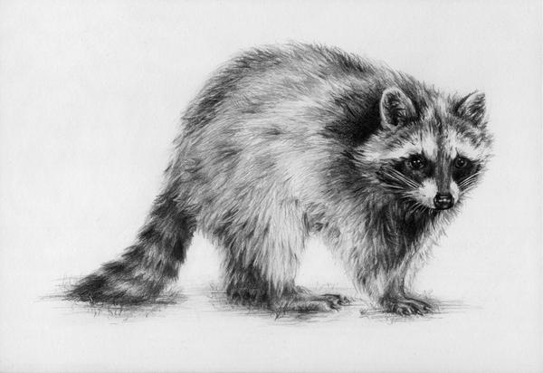 raccoon drawing raccoon by oakleyc on deviantart drawing raccoon