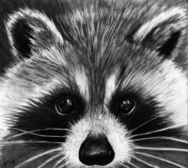 raccoon drawing raccoon drawing by alycia ryan raccoon drawing