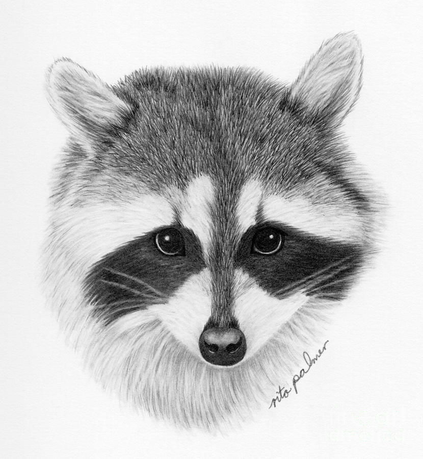 raccoon drawing raccoon drawing by rita palmer raccoon drawing