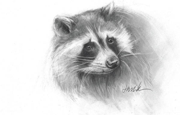 raccoon drawing raccoon drawings fine art america drawing raccoon