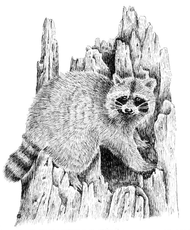 raccoon drawing raccoon mischief drawing by kyle peron drawing raccoon