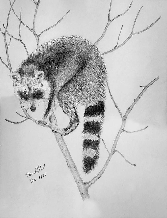 raccoon drawing raccoon treed drawing by daniel shuford raccoon drawing