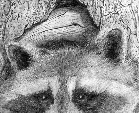 raccoon drawing raccoon wildlife art graphite pencil sketch drawing drawing raccoon