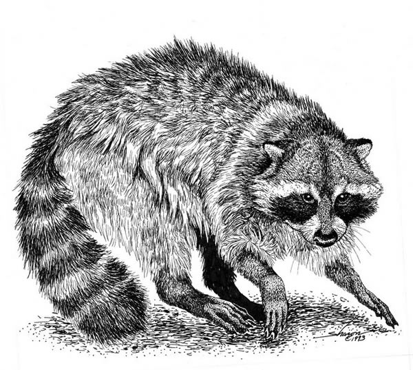 raccoon drawing raccoons in chimneys get rid of raccoons allstate drawing raccoon