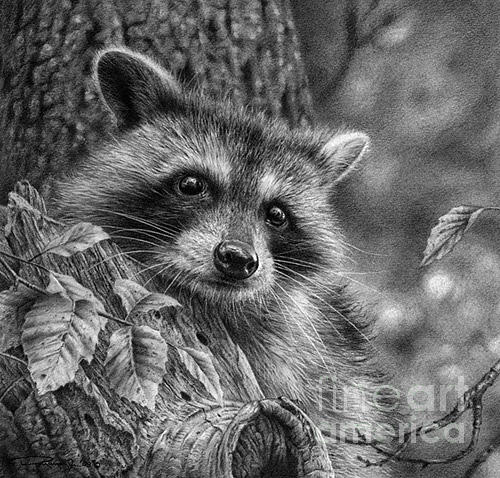 raccoon drawing young raccoon study drawing by denis mayer jr raccoon drawing
