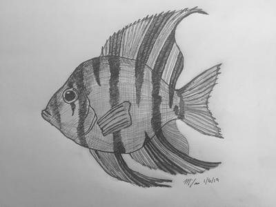 angelfish drawing flame angelfish coloring page free printable coloring pages angelfish drawing