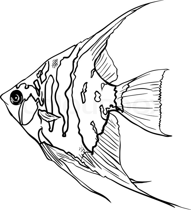 angelfish drawing freshwater angelfish coloring page drawing angelfish