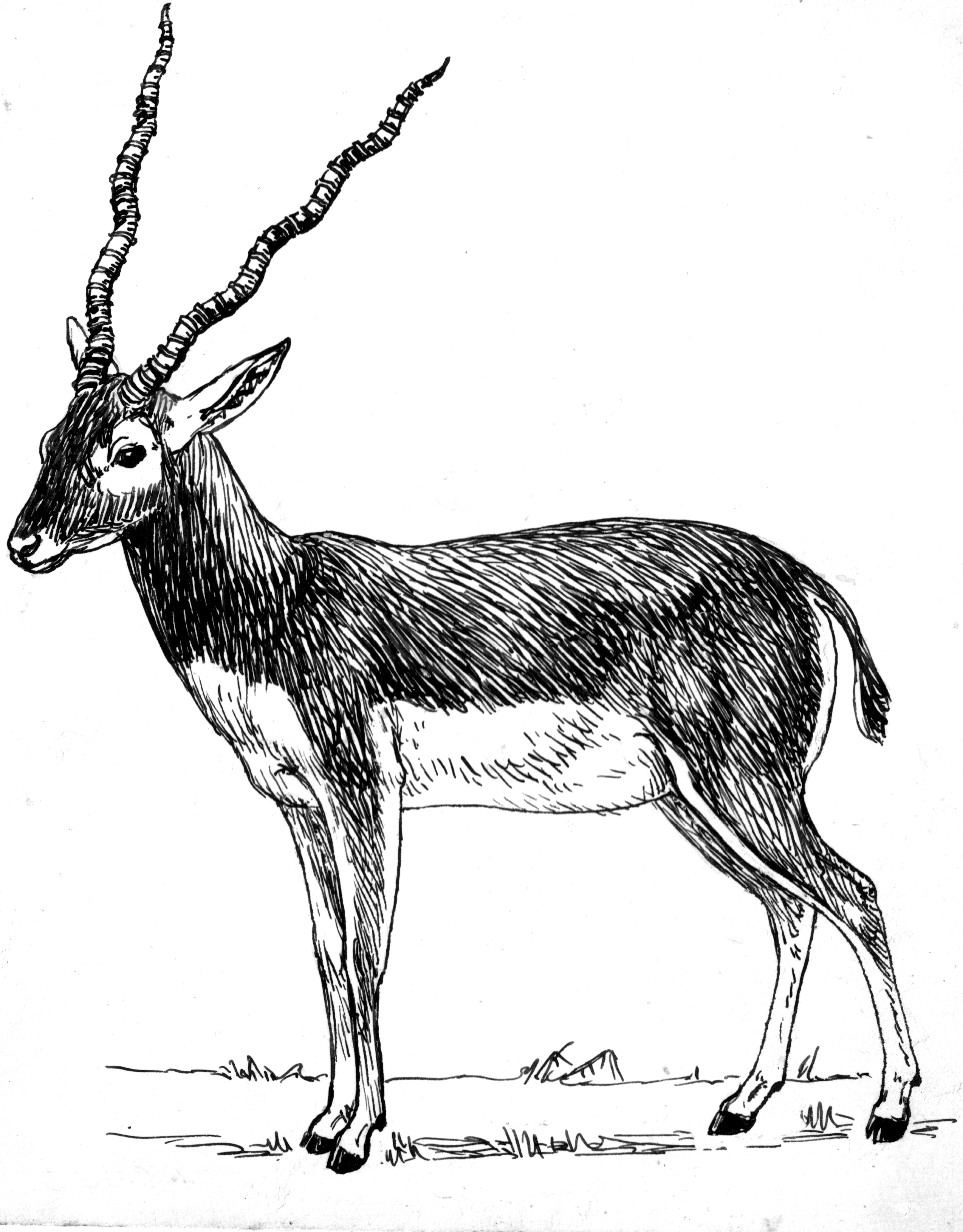 antelope drawing how to draw a pronghorn antelope step by step drawing antelope drawing