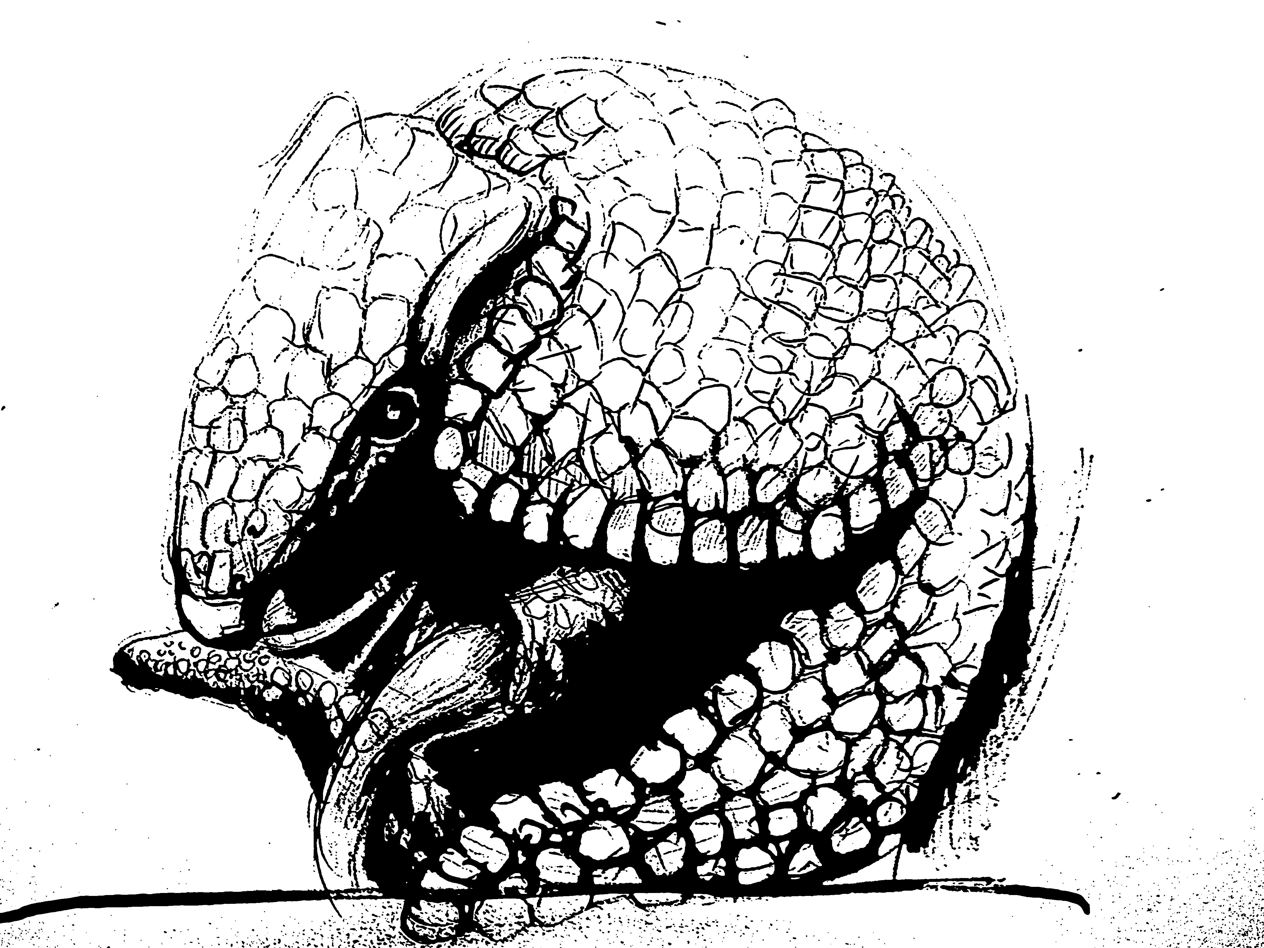 Armadillo drawing