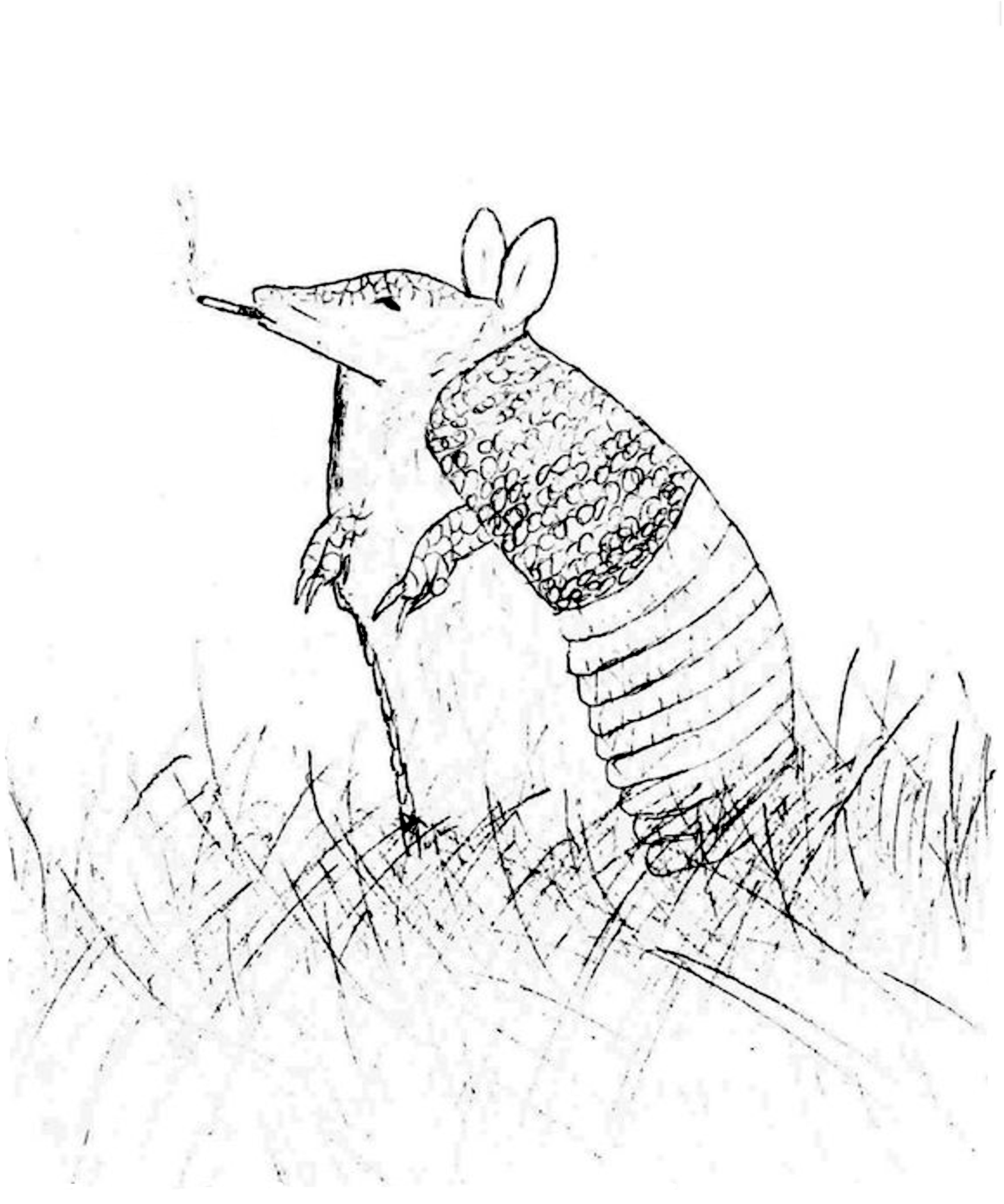 armadillo drawing how to draw an armadillo armadillo drawing