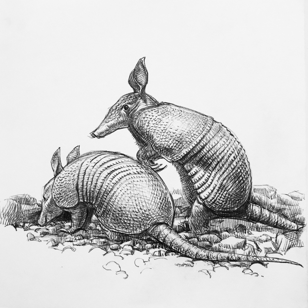 armadillo drawing standing armadillo drawing by karl addison drawing armadillo