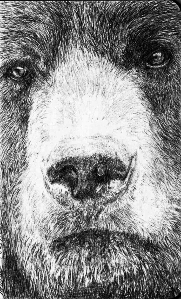 bear face drawing angry grizzly bear drawing by mehran yousefian by drawing bear face