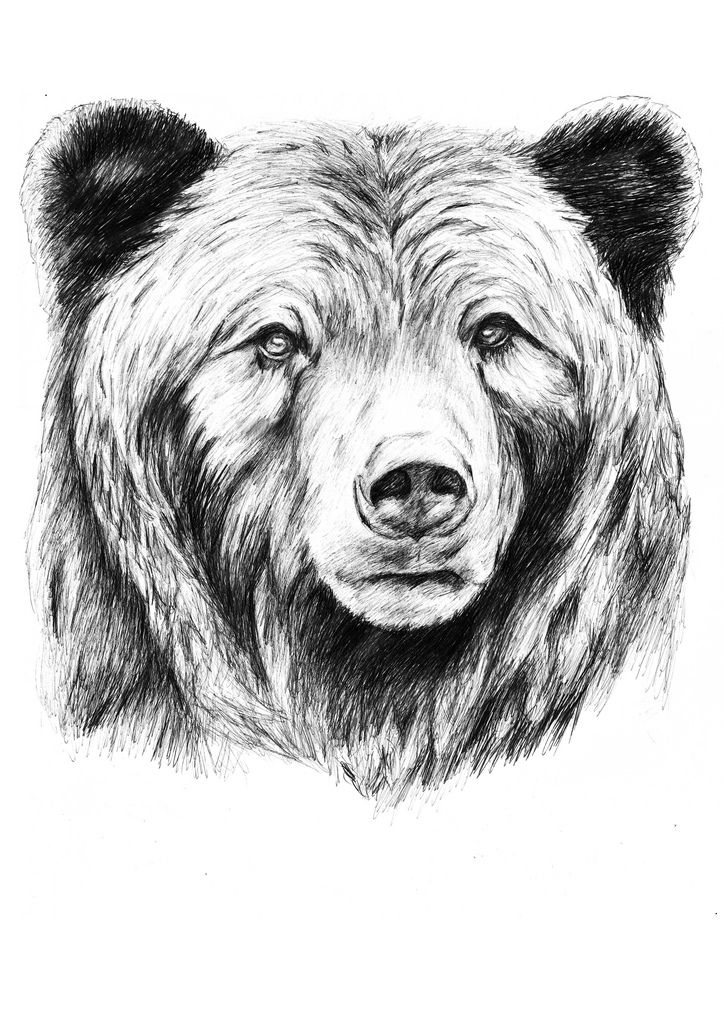 bear face drawing sketch of the day grizzly bear face bear drawing