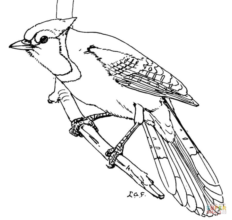 blue jay outline how to draw a blue jay drawingnow outline blue jay