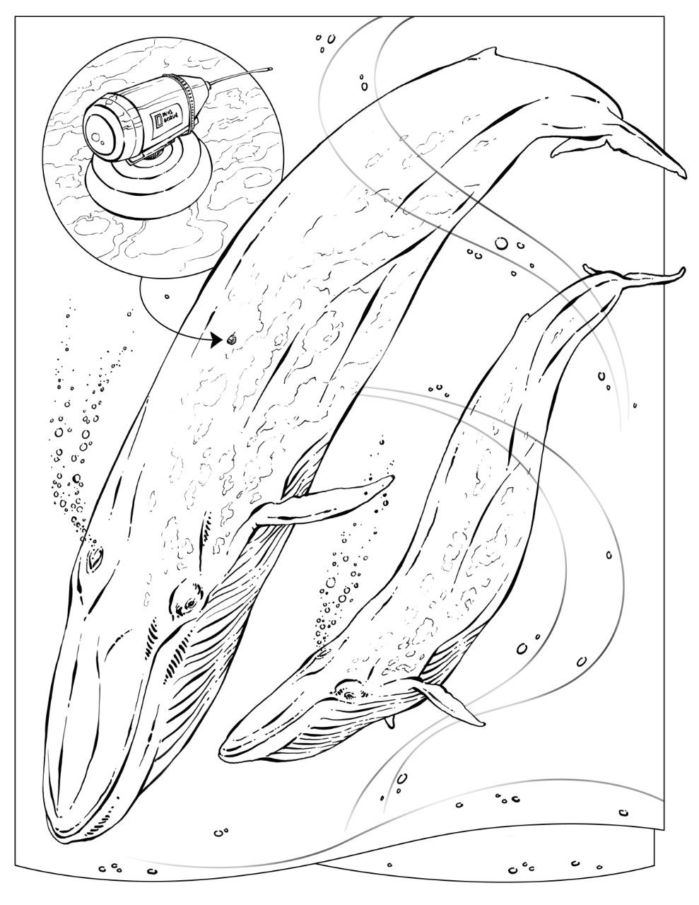 blue whale coloring page blue whale drawing at getdrawings free download whale page coloring blue