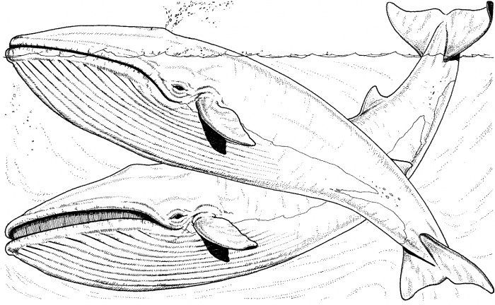 blue whale coloring page printable whale coloring pages for kids cool2bkids whale blue page coloring