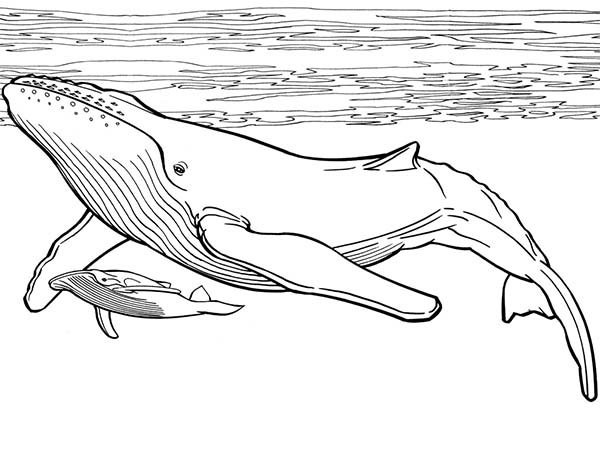 blue whale coloring page two blue whales in the sea coloring page super coloring coloring blue page whale