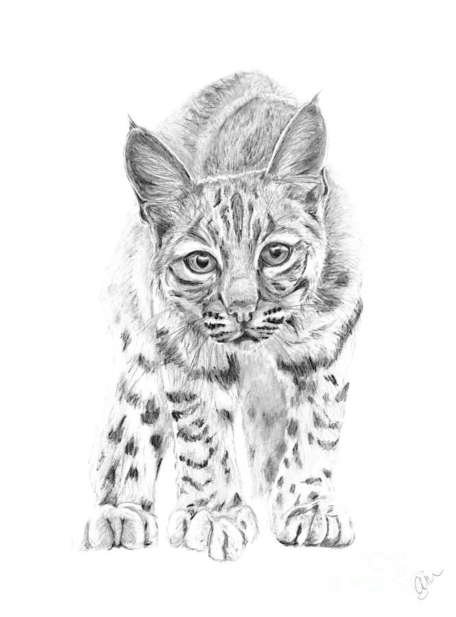 bobcat drawing bobcat in a shadow drawing by suzanne mckee drawing bobcat