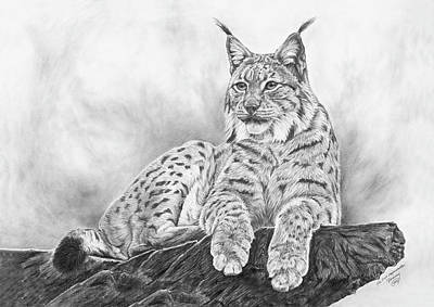 bobcat drawing bobcat is a drawing by suzanne schaefer which was uploaded drawing bobcat