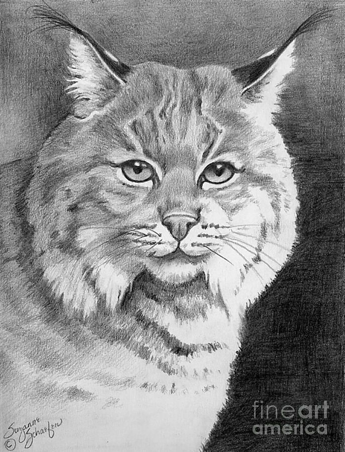 bobcat drawing on the prowl a young bobcat drawing by stacey may bobcat drawing