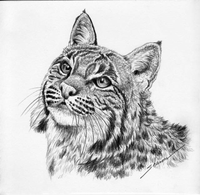 bobcat drawing on the prowl bobcat drawing by laurie musser bobcat drawing