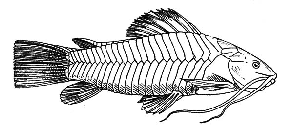 catfish coloring pictures catfish coloring page colordad sketch coloring page catfish coloring pictures