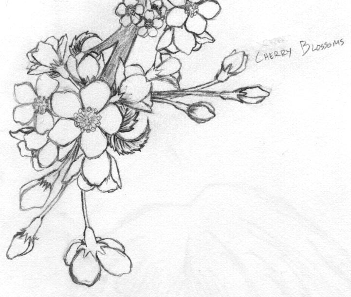 cherry blossom sketch cherry blossom drawing in pencil on behance cherry sketch blossom