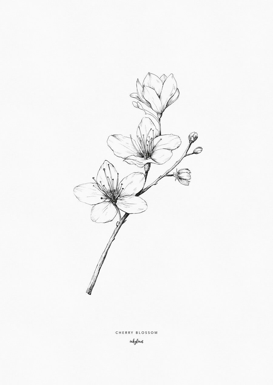 cherry blossom sketch japanese blossom drawing at getdrawings free download blossom cherry sketch