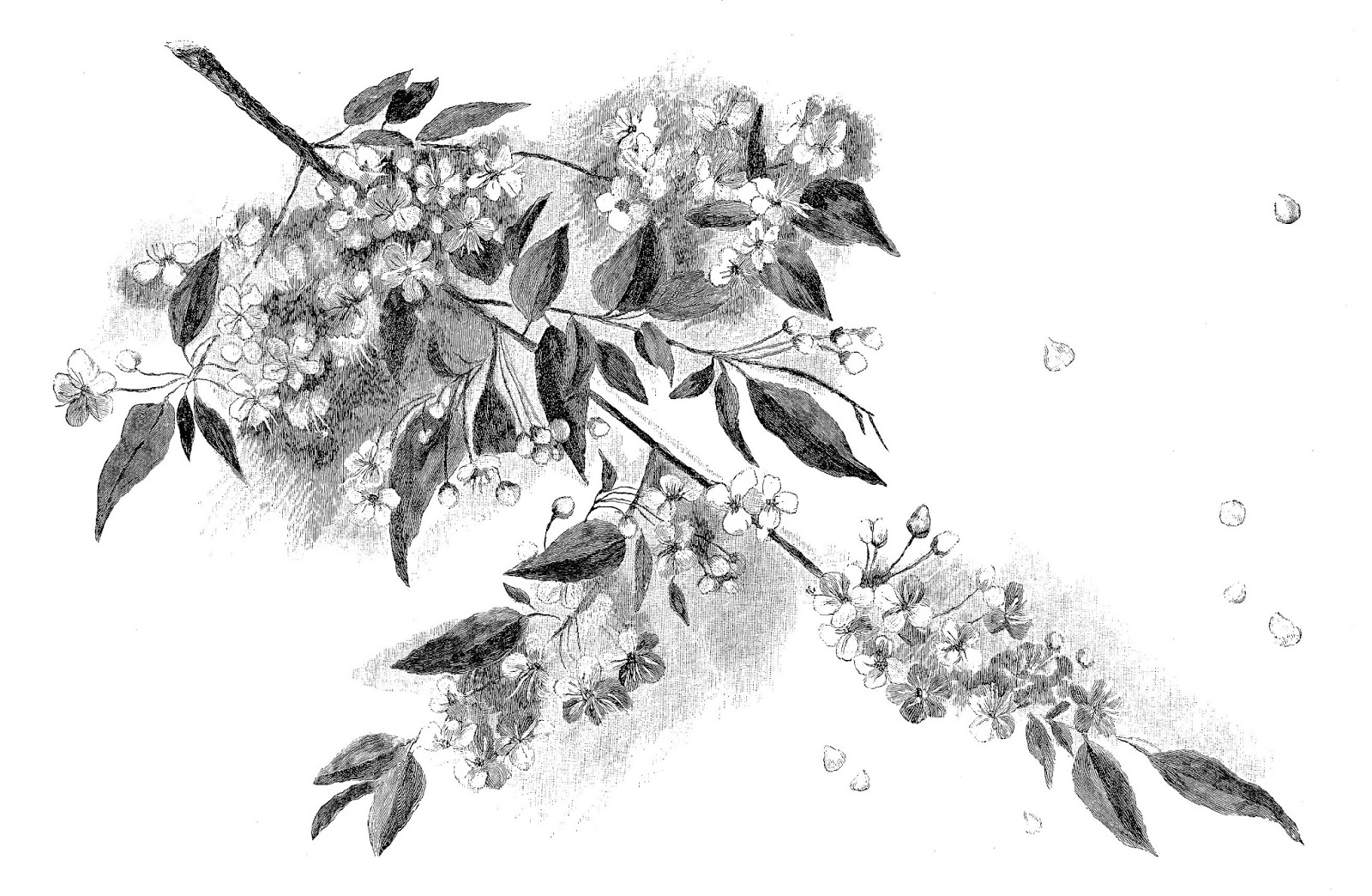 cherry blossom sketch japanese cherry blossom flower drawing free download on cherry blossom sketch