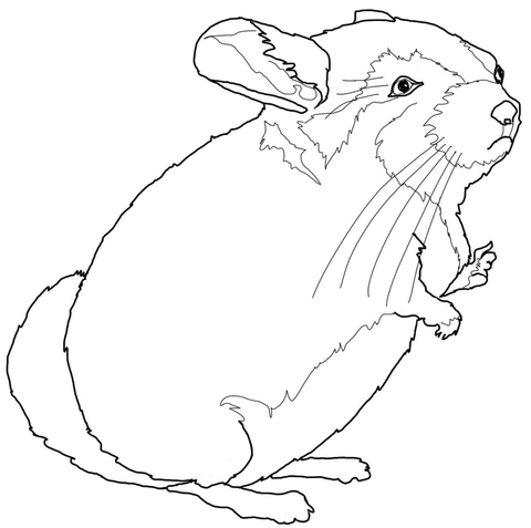 chinchilla coloring pages to print chinchilla coloring page at getcoloringscom free print chinchilla pages to coloring