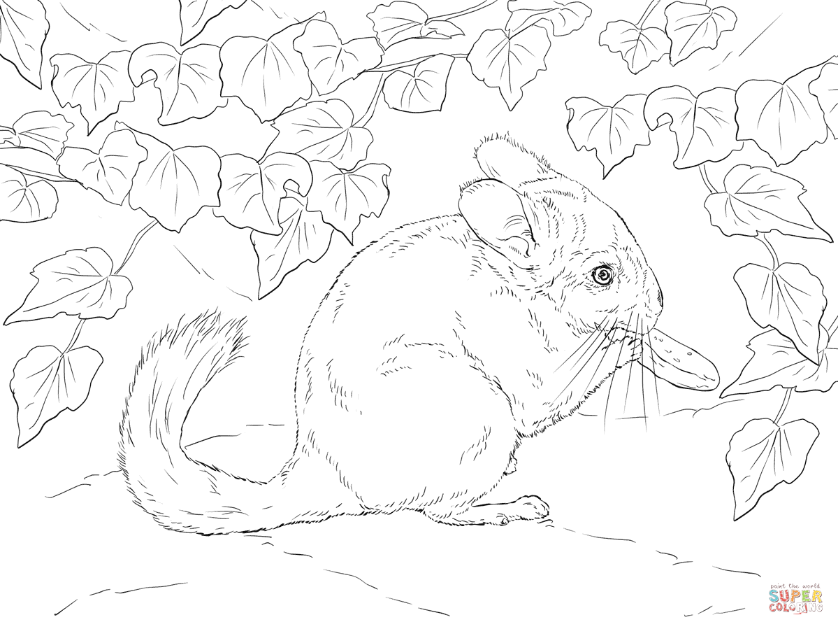 chinchilla coloring pages to print stencilsdrawings image by laura martin animal drawings pages coloring chinchilla to print