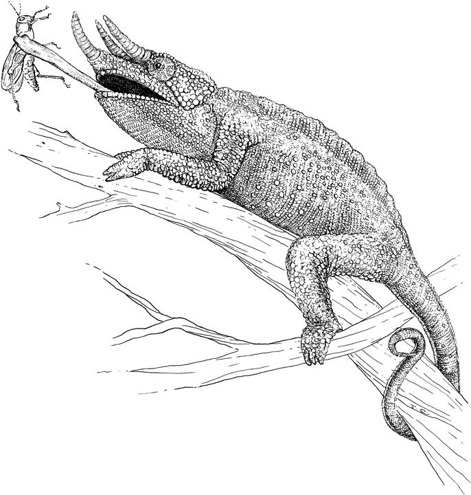 coloring lizard lizard coloring pages cswd coloring lizard