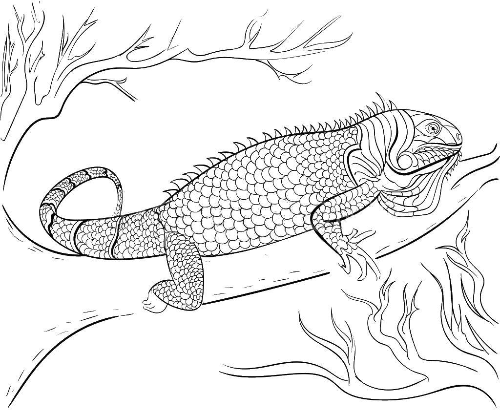 coloring page iguana printable iguana coloring pages for kids cool2bkids coloring iguana page