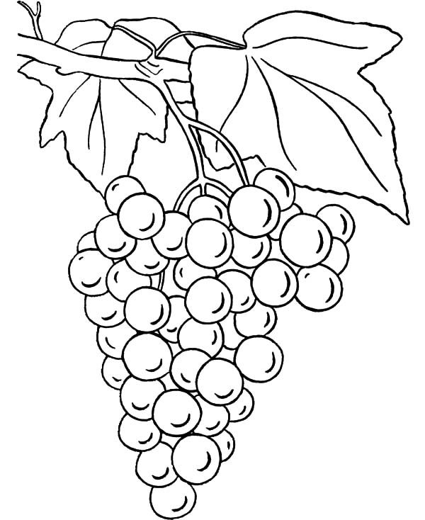 coloring picture of grapes picture of grapes coloring pages color luna coloring grapes coloring of picture