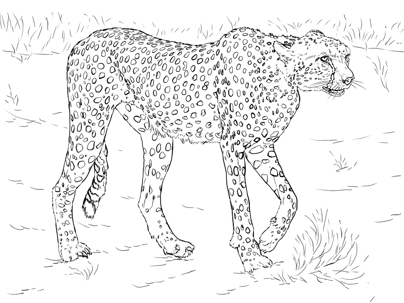 coloring pictures of cheetahs cheetah coloring pages to download and print for free pictures coloring cheetahs of