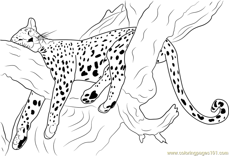 coloring pictures of cheetahs cheetahs gregchapin coloring page free cheetah coloring cheetahs of coloring pictures